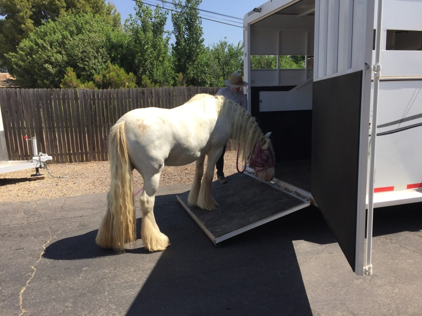 Patiently working with a horse to load into a trailer